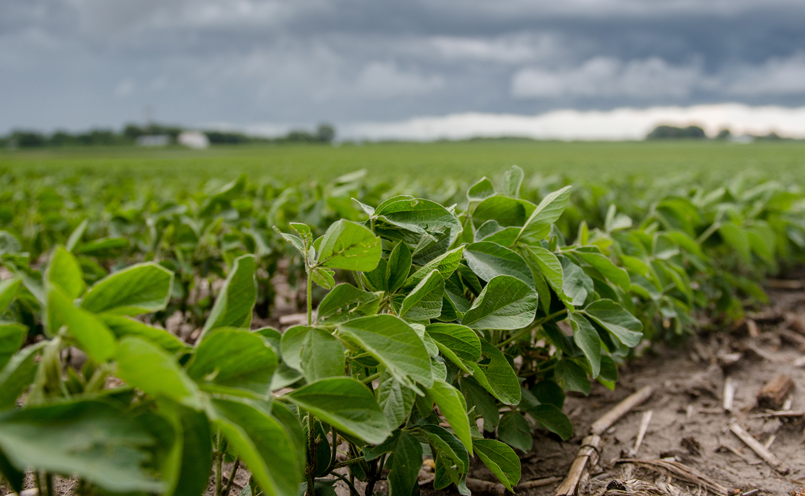 Closeup of a row of growing soybeans with dark clouds i