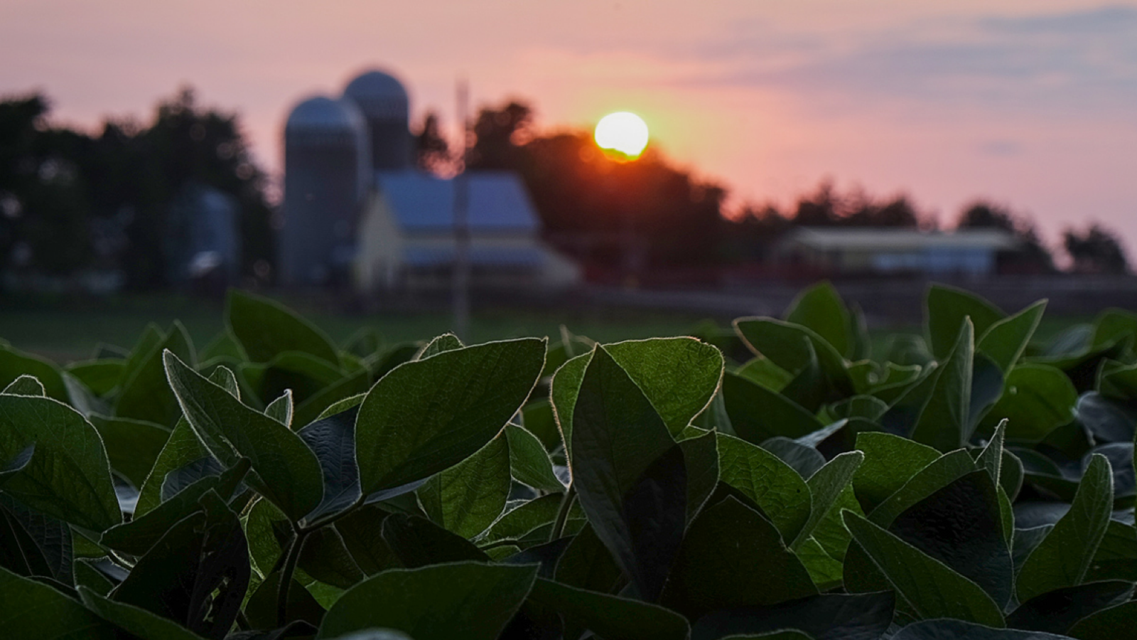 Sun sets over a soybean field with a farmstead in the b
