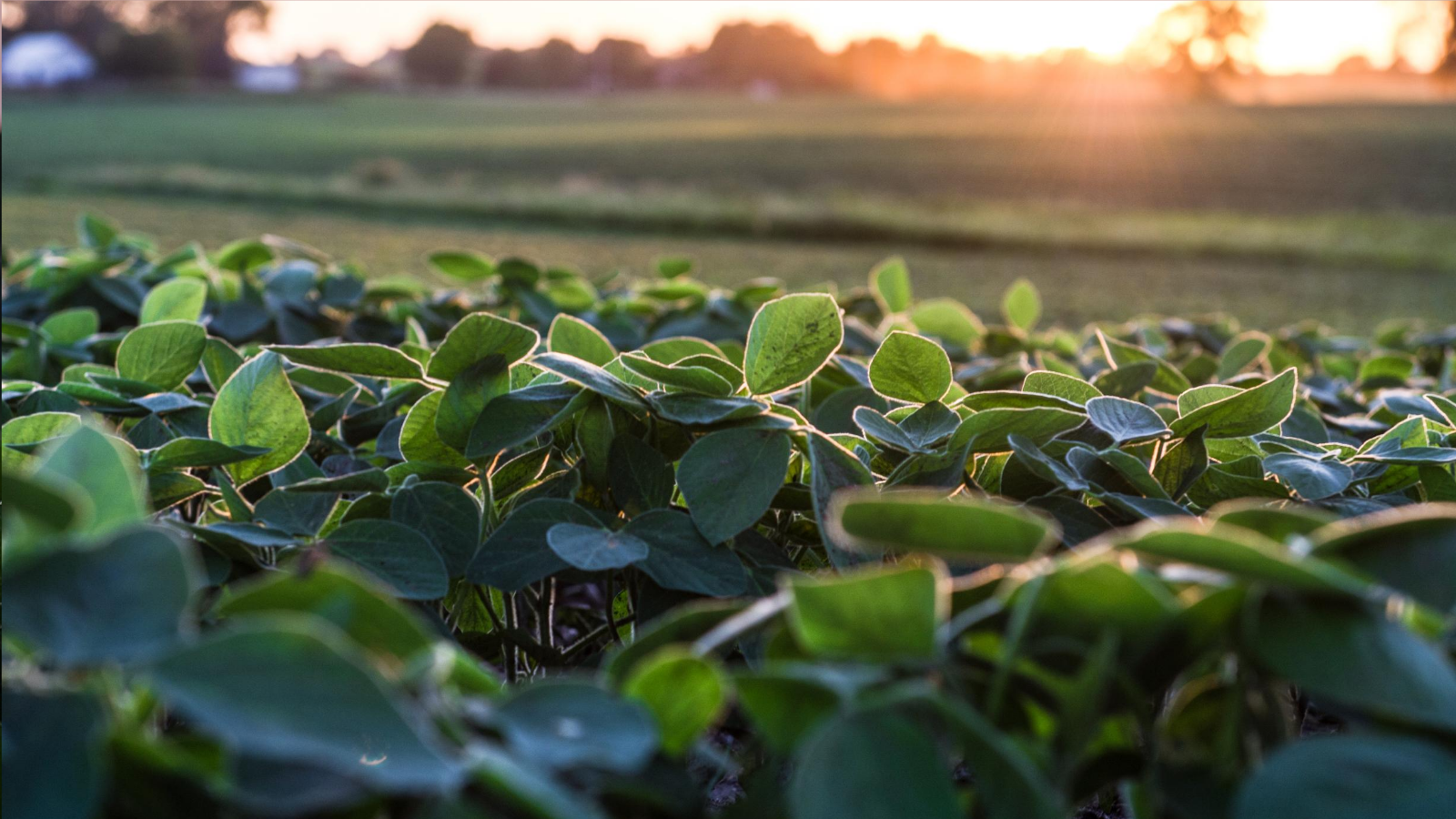 Sunrise over a soybean field.