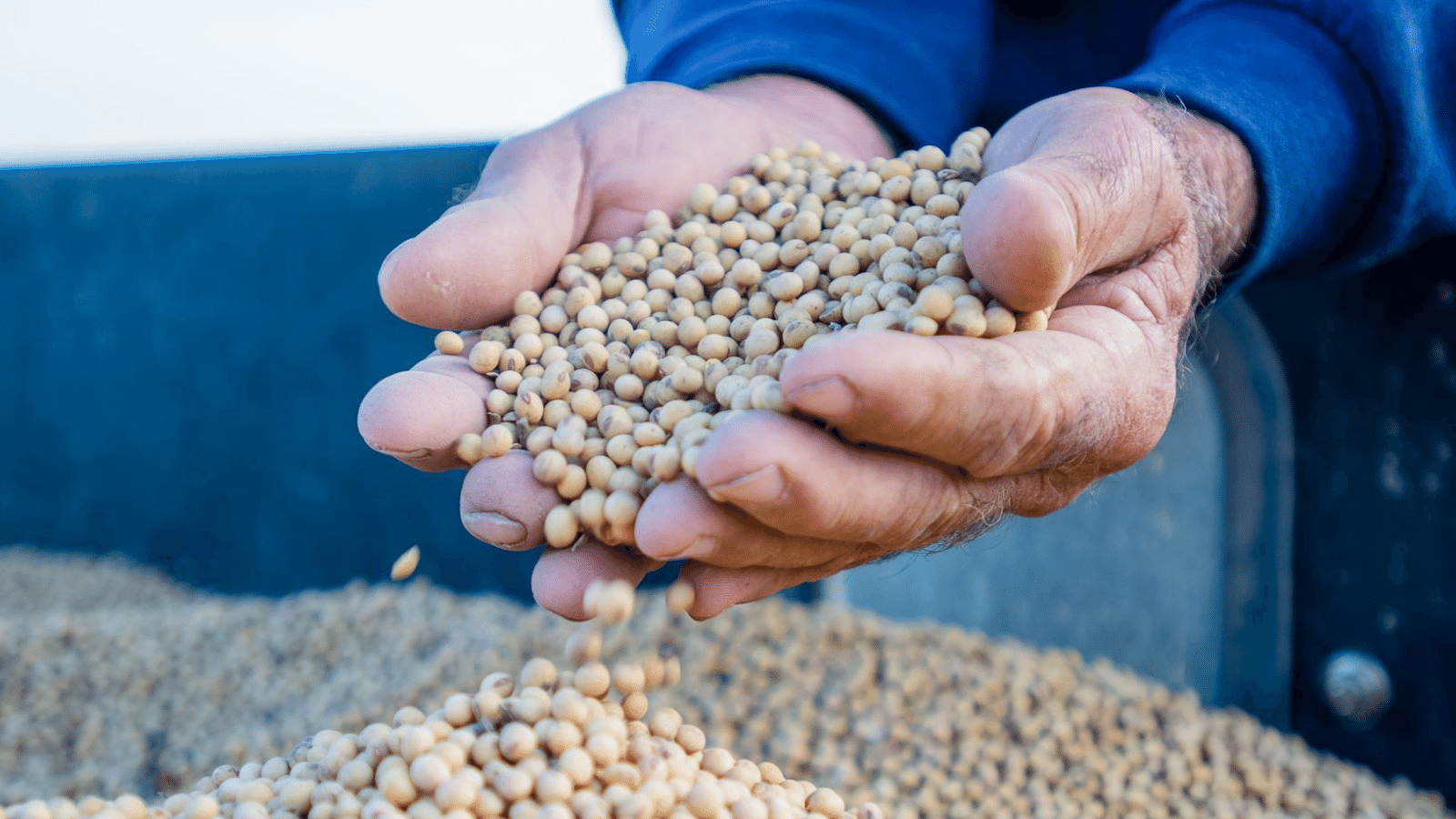 A farmer holds a handful of soybeans from a full grain