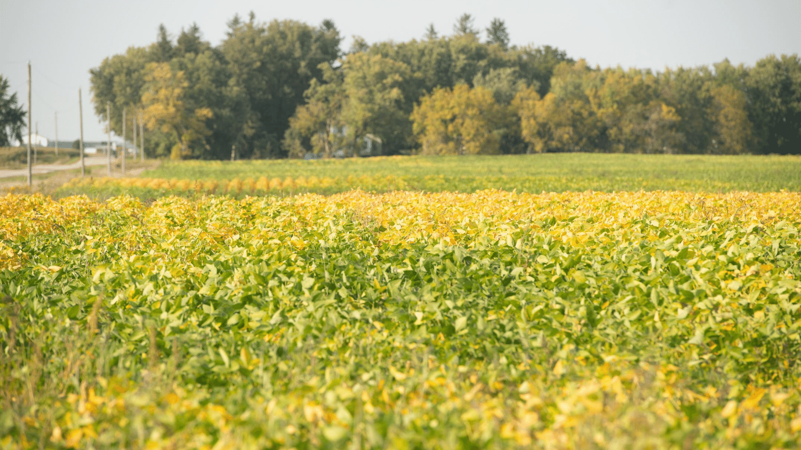 A soybean field grows in springtime.