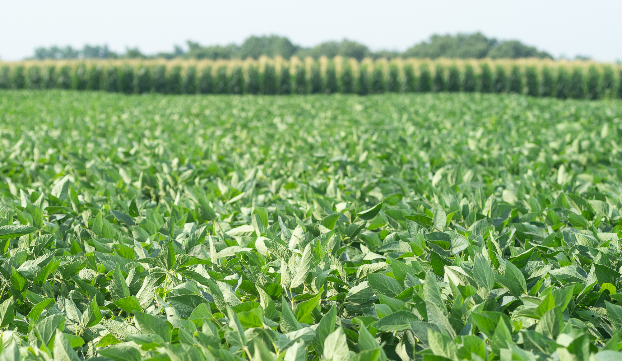 Rows of green soybean plants