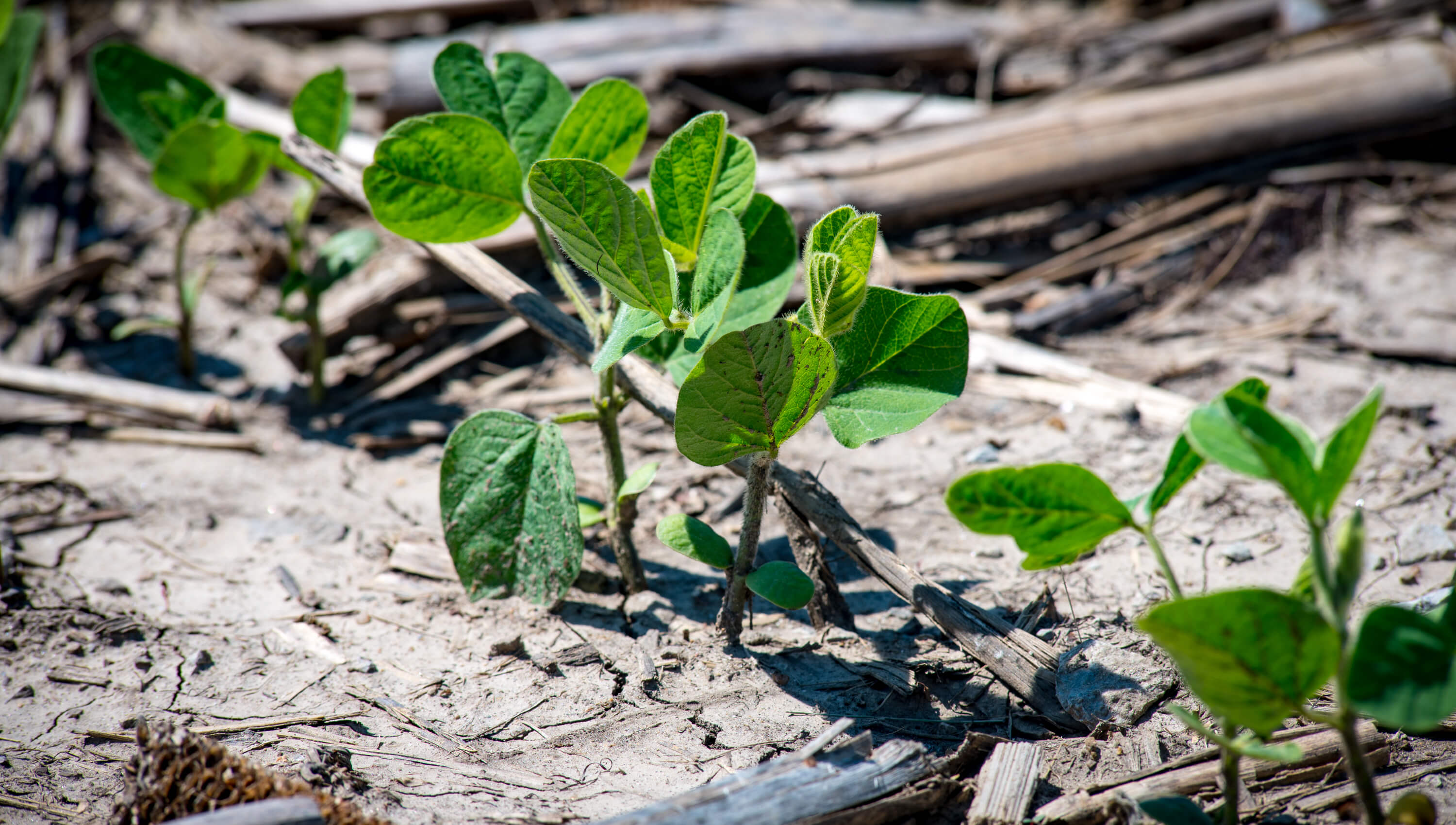 Newly emerging soybean plants with corn stalk on ground
