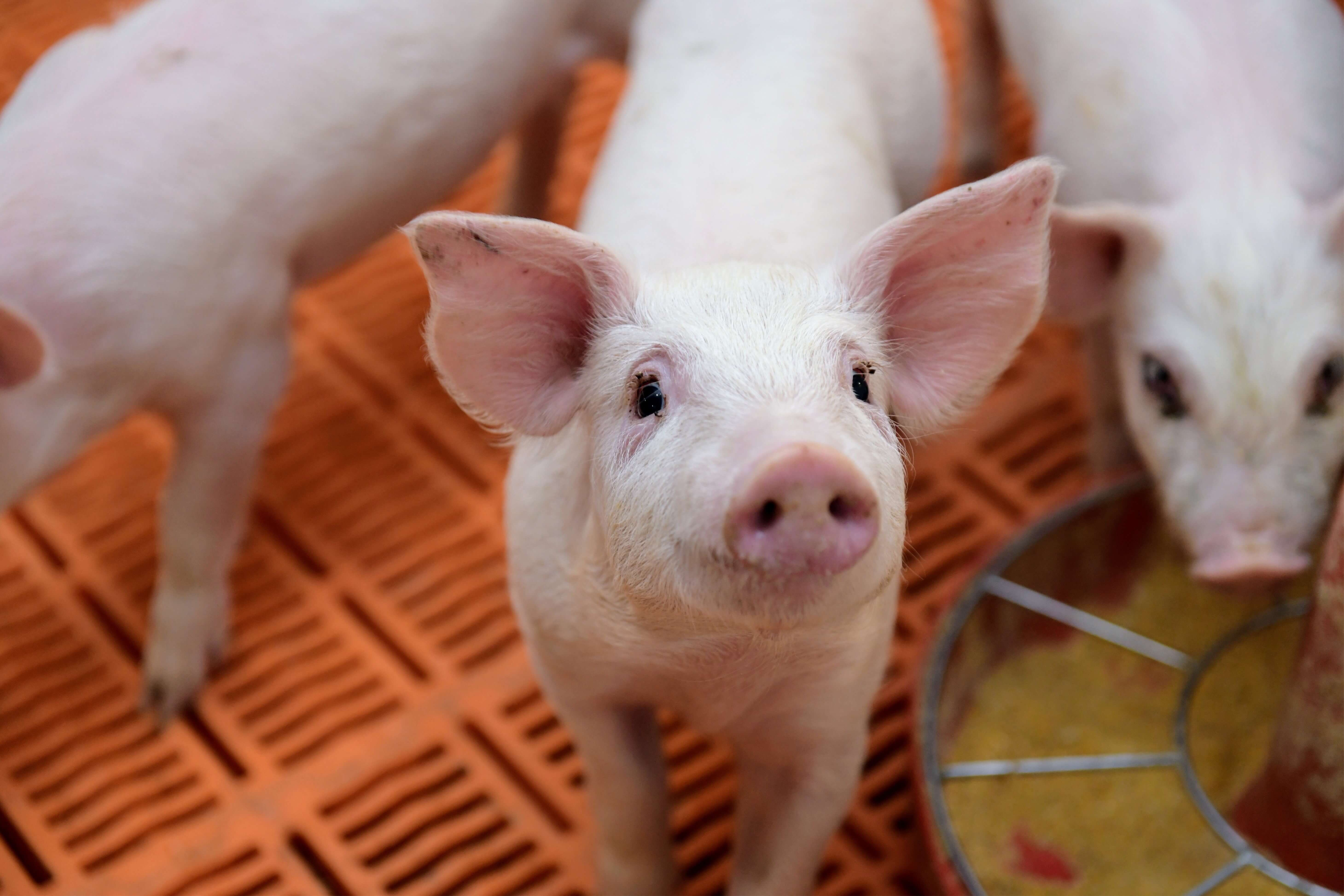 A piglet glances curiously up at the camera with two pi